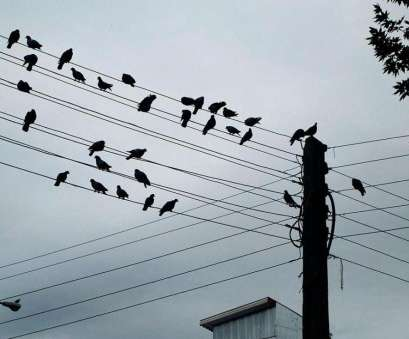 electric wire is live Why Do Birds Line Up On Telephone, Power Wires?, Mental Floss Electric Wire Is Live Fantastic Why Do Birds Line Up On Telephone, Power Wires?, Mental Floss Photos