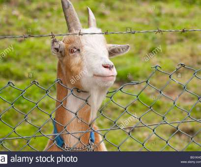 wire mesh goat fence Goat behind barbed wire fence Stock Photo: 27082188, Alamy Wire Mesh Goat Fence Best Goat Behind Barbed Wire Fence Stock Photo: 27082188, Alamy Images