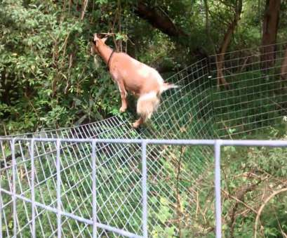 wire mesh goat fence Goat wins over goat panel fencing Wire Mesh Goat Fence Popular Goat Wins Over Goat Panel Fencing Images